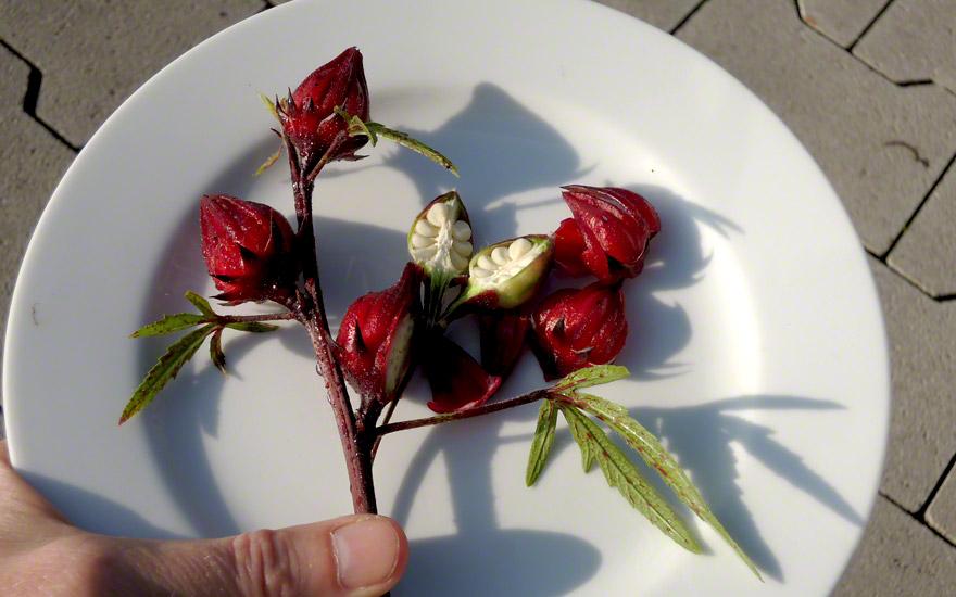 hibiskus tee saatgut hibiscus sabdariffa hibiskus haarstrang hundszunge pflanzen. Black Bedroom Furniture Sets. Home Design Ideas