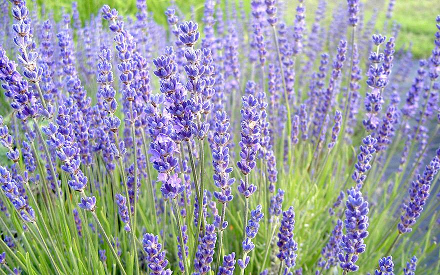 lavendel 39 cecilia 39 pflanze lavandula angustifolia lavendel labkraut lungenkraut. Black Bedroom Furniture Sets. Home Design Ideas