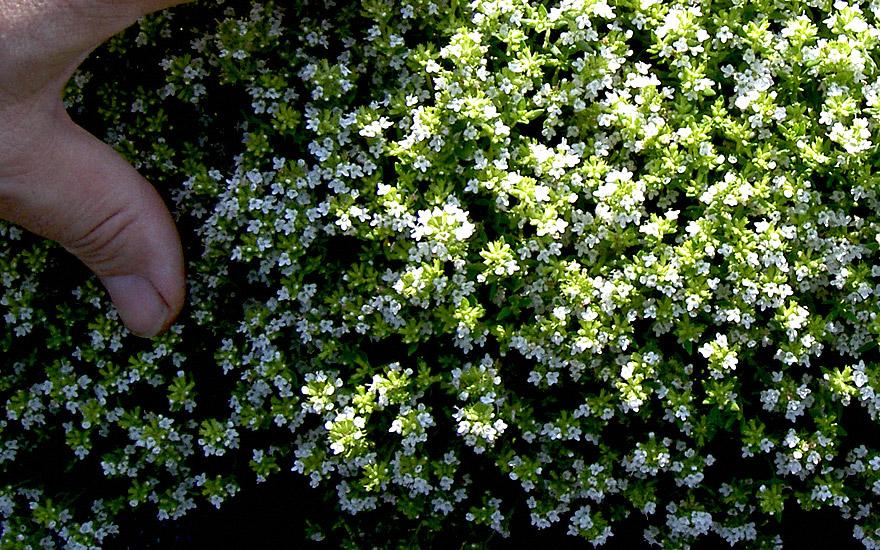 kugelthymian wei bl hend pflanze thymus vulgaris var. Black Bedroom Furniture Sets. Home Design Ideas