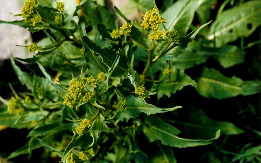Türkische pflanzen