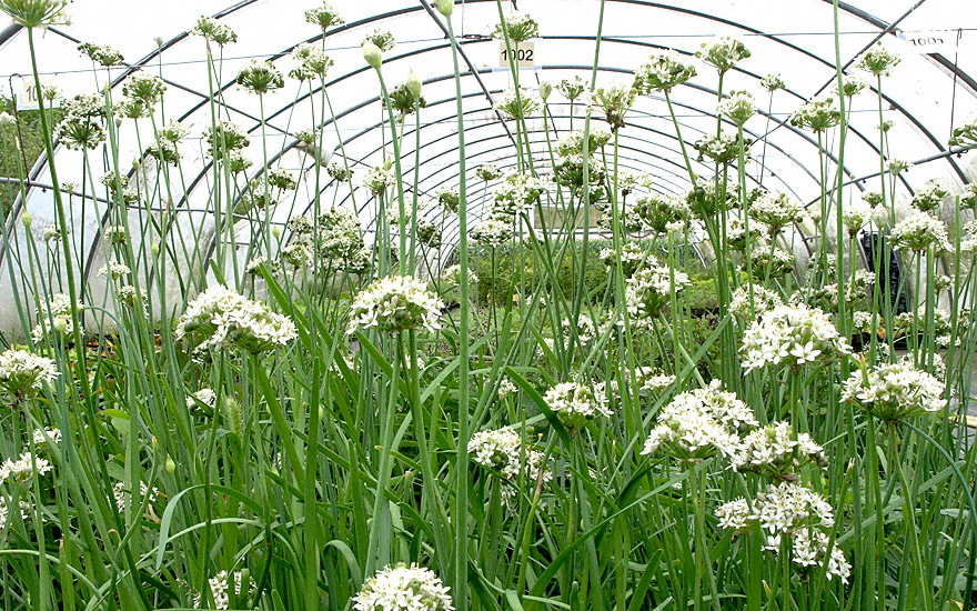 chinesischer lauch pflanze allium odorum lauch. Black Bedroom Furniture Sets. Home Design Ideas