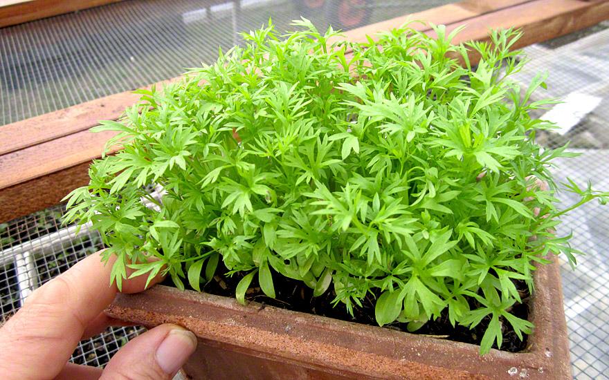 Koriander confetti saatgut coriandrum sativum for Koriander pflanzen