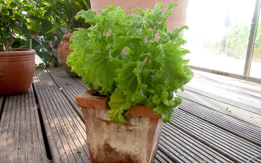 Basilikum 39 gr nes krauses 39 saatgut ocimum basilicum for Green pflanzen