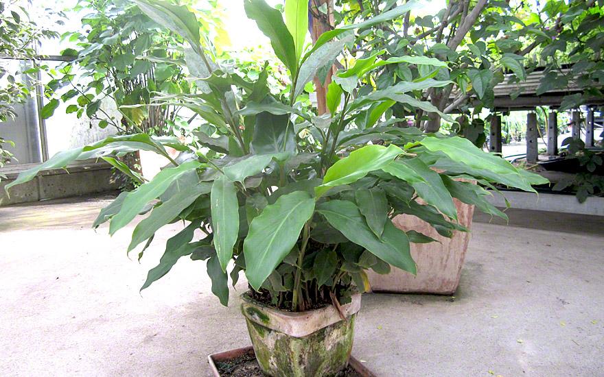 kardamom pflanze