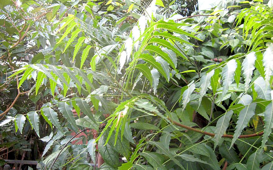 neem niembaum pflanze azadirachta indica kr uter zur sch dlingsabwehr nach verwendung. Black Bedroom Furniture Sets. Home Design Ideas