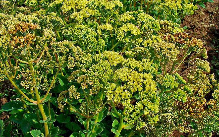 fetthenne wildform pflanze sedum telephium europ ische heilkr uter tem heilkr uter. Black Bedroom Furniture Sets. Home Design Ideas