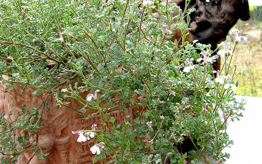 weihrauch duftgeranie pflanze pelargonium species duftgeranie duftpflanzen r hlemann 39 s. Black Bedroom Furniture Sets. Home Design Ideas
