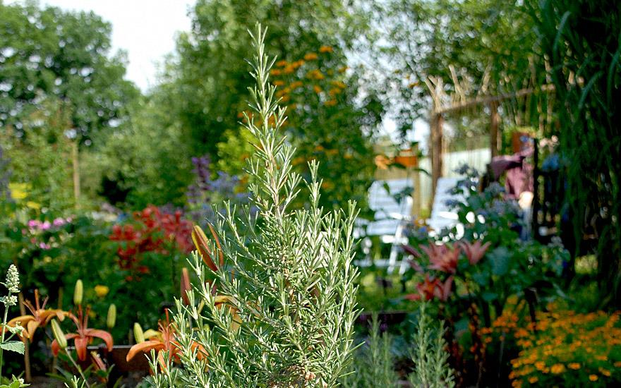 rosmarin 39 arp 39 pflanze rosmarinus officinalis. Black Bedroom Furniture Sets. Home Design Ideas