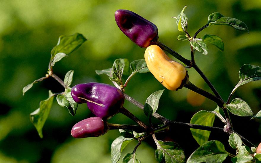 chili 39 ecuador purple 39 saatgut capsicum species. Black Bedroom Furniture Sets. Home Design Ideas