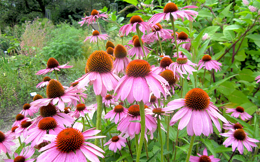 echinacea pflanze echinacea purpurea echinacea. Black Bedroom Furniture Sets. Home Design Ideas