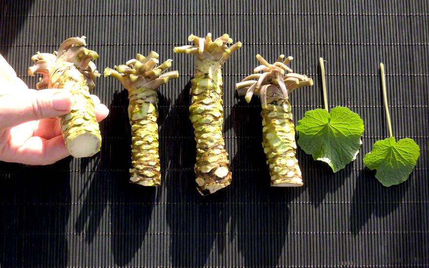 wasabi japanischer meerrettich pflanze wasabia. Black Bedroom Furniture Sets. Home Design Ideas