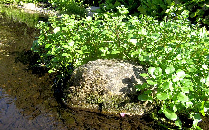 brunnenkresse pflanze nasturtium officinalis kresse. Black Bedroom Furniture Sets. Home Design Ideas