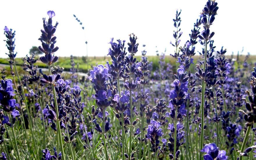 lavendel bleue velours paul pflanze lavandula. Black Bedroom Furniture Sets. Home Design Ideas
