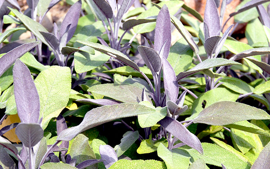 purpursalbei pflanze salvia officinalis purpurascens salbei salbei s holz pflanzen. Black Bedroom Furniture Sets. Home Design Ideas