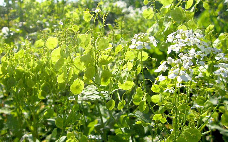 lauch scheibensch tchen pflanze peltaria alliacea salatkr uter essbare pflanzen nach. Black Bedroom Furniture Sets. Home Design Ideas