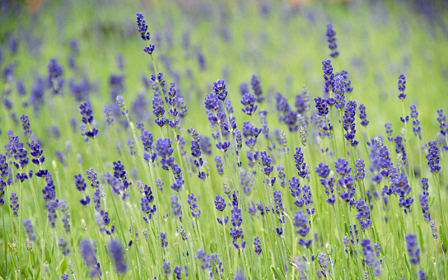 lavendel 39 hidcote blue 39 pflanze lavandula angustifolia. Black Bedroom Furniture Sets. Home Design Ideas