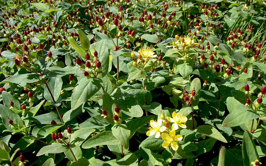 johanniskraut 39 tutsan 39 pflanze hypericum androsaemum johanniskraut jaborosa jojoba. Black Bedroom Furniture Sets. Home Design Ideas
