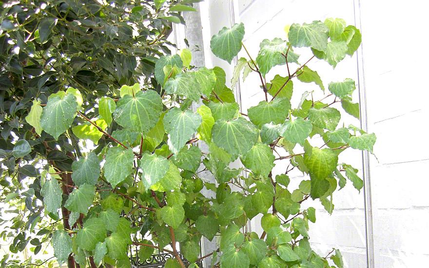 tahiti pfeffer maori kava pflanze macropiper excelsum. Black Bedroom Furniture Sets. Home Design Ideas