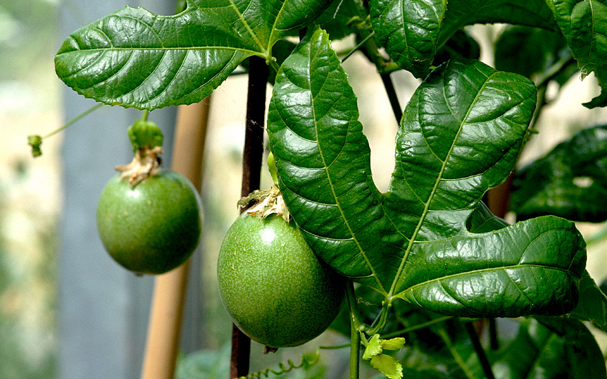 passionsblume essbar saatgut passiflora edulis. Black Bedroom Furniture Sets. Home Design Ideas