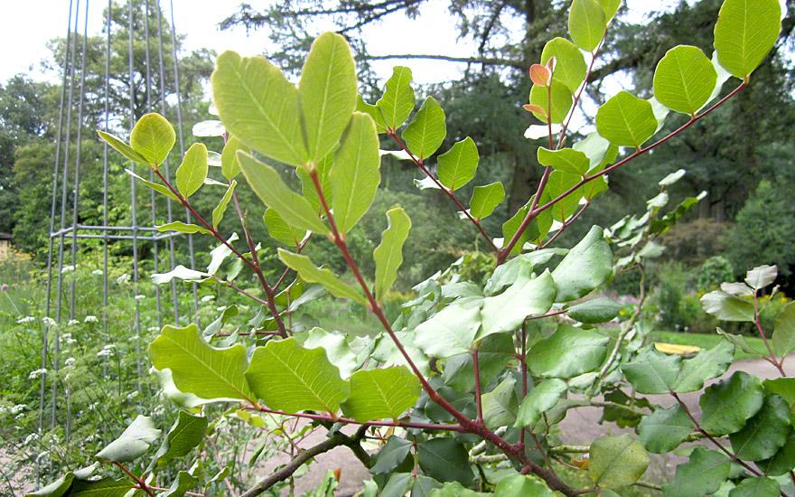 carob saatgut ceratonia siliqua fruchtpflanzen essbare pflanzen nach verwendung. Black Bedroom Furniture Sets. Home Design Ideas