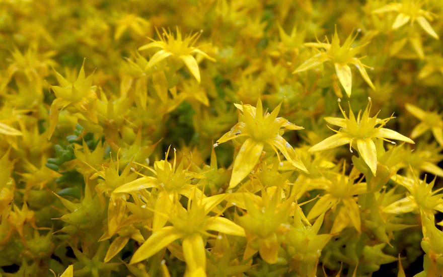 Mauerpfeffer Essbar mauerpfeffer scharfer pflanze sedum acre europäische
