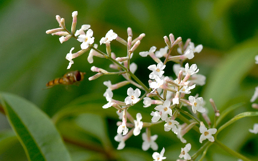 zitronenverbene pflanze aloysia triphylla verbene. Black Bedroom Furniture Sets. Home Design Ideas