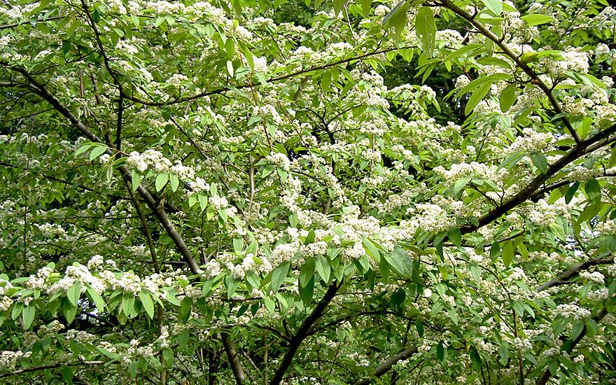 baummispel pflanze cotoneaster watereri 39 cornubia 39 bienen und hummelpflanzen nach. Black Bedroom Furniture Sets. Home Design Ideas