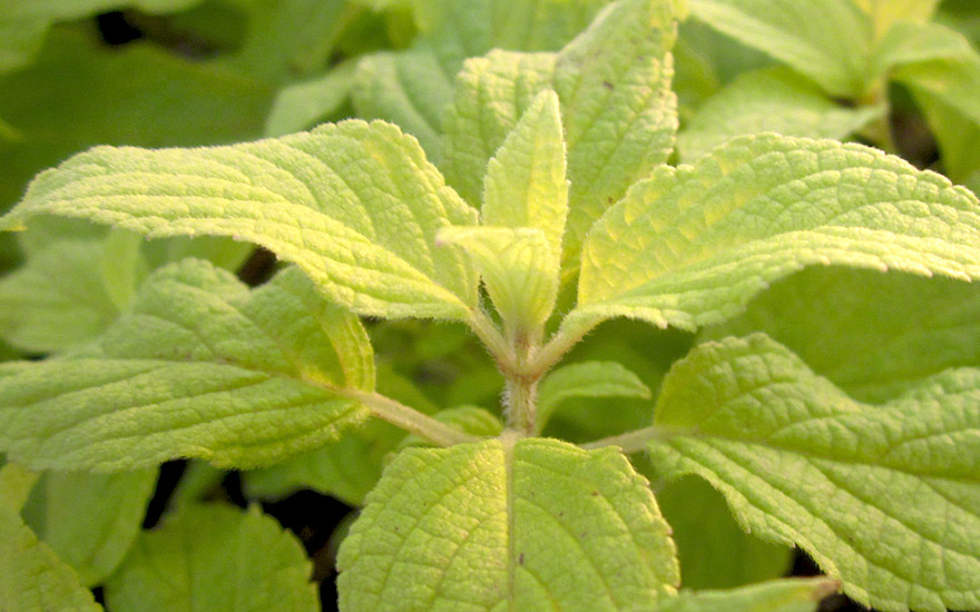 apfelsalbei pflanze salvia rutilans golden delicious salbei salbei s holz pflanzen. Black Bedroom Furniture Sets. Home Design Ideas