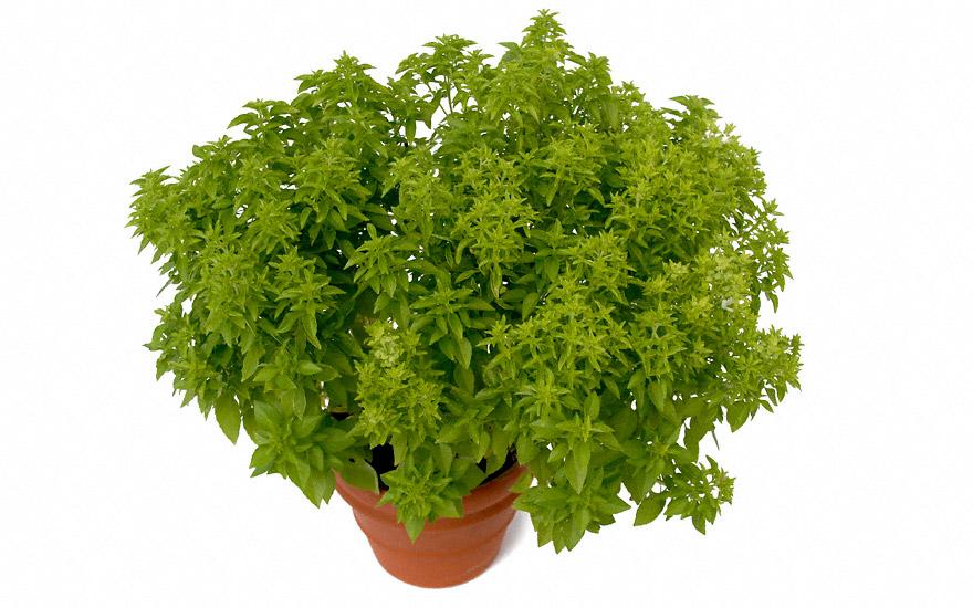 t rkisches buschbasilikum pflanze ocimum basilicum var minimum basilikum babantsi. Black Bedroom Furniture Sets. Home Design Ideas