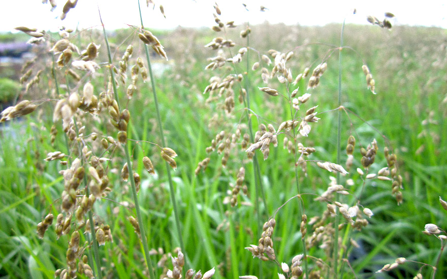 Mariengras S 252 223 Gras Pflanze Hierochloe Odorata