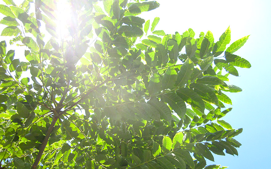 Asiatische Pflanzen chinesischer gemüsebaum pflanze toona sinensis cedrela sinensis