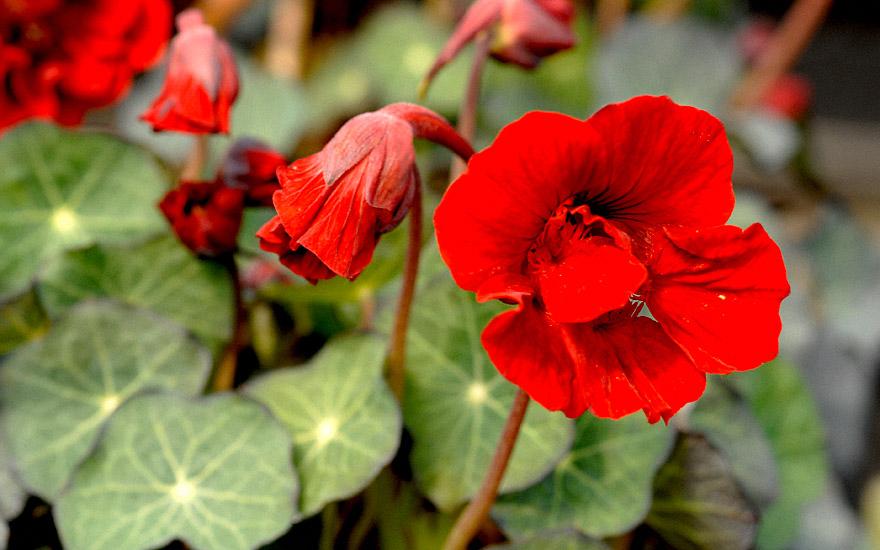 kapuzinerkresse 39 red wonder 39 pflanze tropaeolum majus h ngeampeln nach verwendung. Black Bedroom Furniture Sets. Home Design Ideas