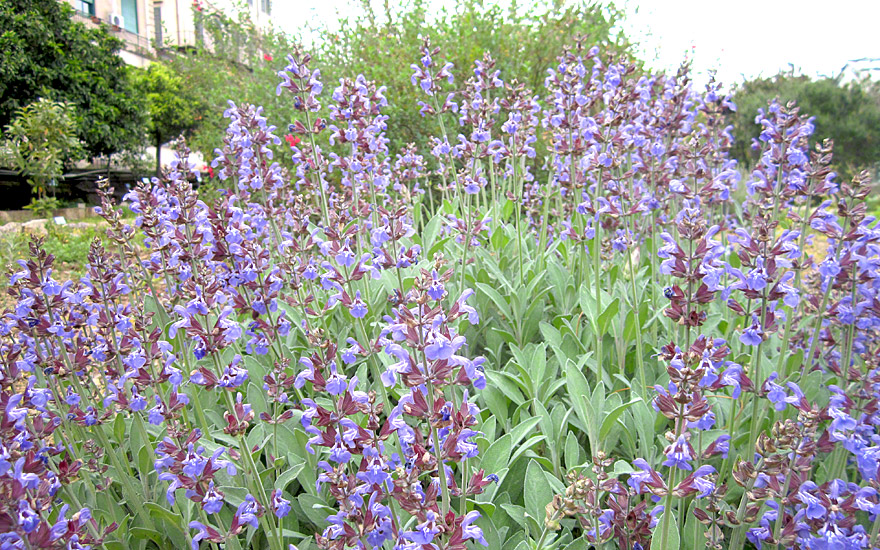 salbei blau bl hend pflanze salvia officinalis. Black Bedroom Furniture Sets. Home Design Ideas
