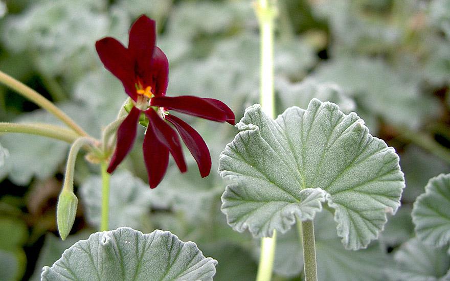 heil pelargonie pflanze pelargonium sidoides. Black Bedroom Furniture Sets. Home Design Ideas
