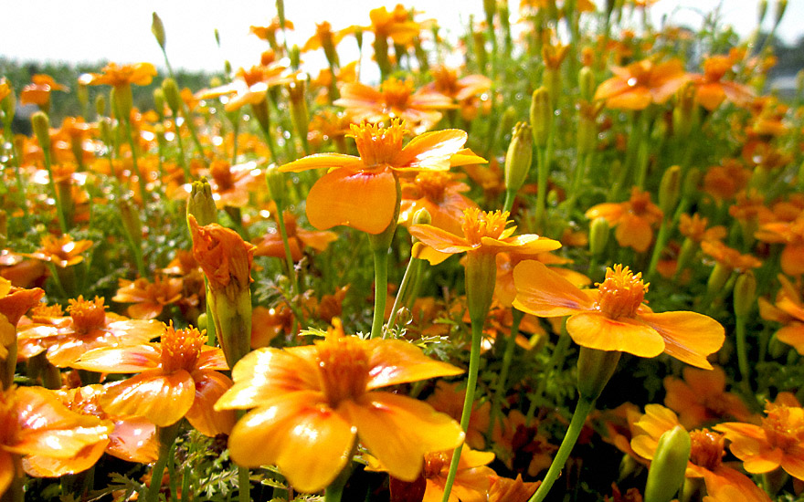 gew rztagetes 39 orange gem 39 saatgut tagetes tenuifolia orange gem tagetes tagetes. Black Bedroom Furniture Sets. Home Design Ideas