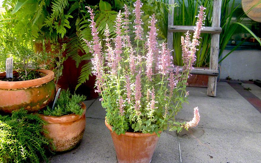 agastache 39 pink pop 39 saatgut agastache pallidiflora neomexicana agastache abelie. Black Bedroom Furniture Sets. Home Design Ideas