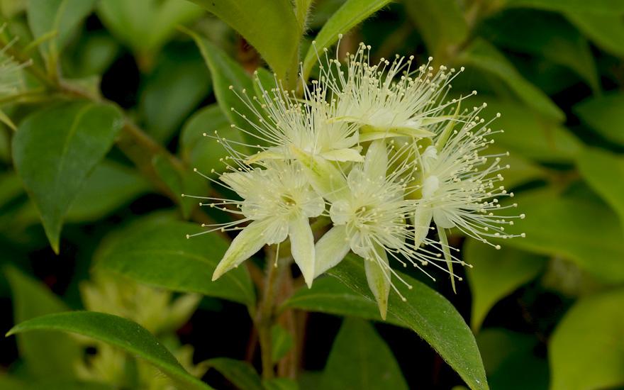 zimtmyrte pflanze backhousia myrtifolia myrte maca. Black Bedroom Furniture Sets. Home Design Ideas