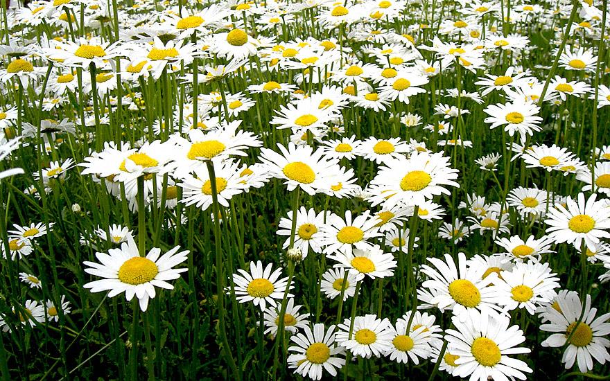 margerite saatgut chrysanthemum leucanthemum blumengestecke nach verwendung r hlemann. Black Bedroom Furniture Sets. Home Design Ideas