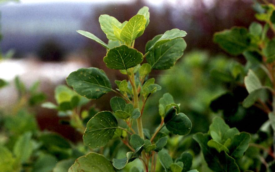 Papalo saatgut porophyllum ruderale ssp macrocephalum for Koriander pflanzen