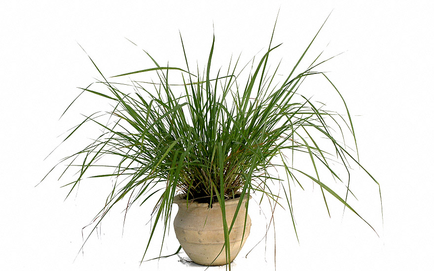 Gräser Pflanzen zitronellagras pflanze cymbopogon nardus gräser würzkräuter