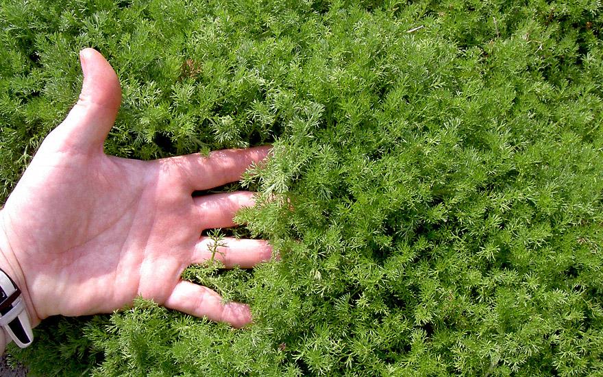 Englische Rasenkamille (pflanze) - Anthemis Nobilis 'treneague ... Begehbare Bodendecker Rasenersatz Pflanzen
