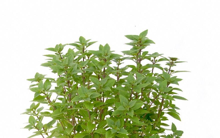 busch basilikum 39 corfu 39 pflanze ocimum basilicum ssp minimum basilikum babantsi. Black Bedroom Furniture Sets. Home Design Ideas