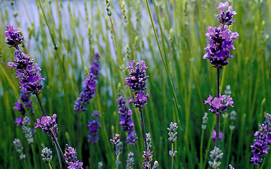 provence lavendel 39 blue dwarf 39 pflanze lavandula x intermedia lavendel labkraut. Black Bedroom Furniture Sets. Home Design Ideas