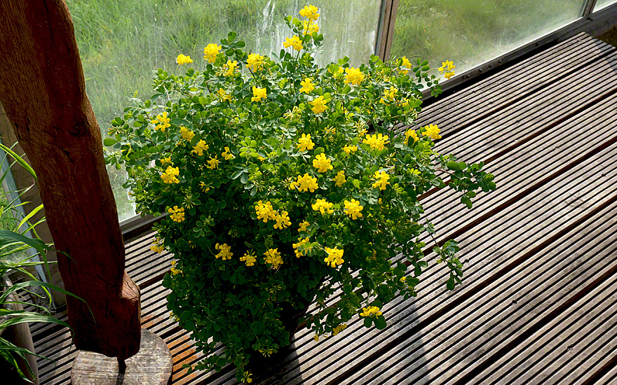 strauch kronwicke pflanze coronilla valentina ssp. Black Bedroom Furniture Sets. Home Design Ideas