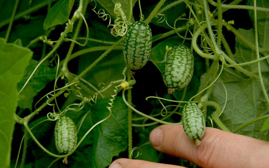 mexikanische mini gurke saatgut melothria scabra fruchtpflanzen essbare pflanzen nach. Black Bedroom Furniture Sets. Home Design Ideas
