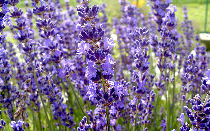 lavendel 39 cecilia 39 pflanze lavandula angustifolia lavendel labkraut lungenkraut. Black Bedroom Furniture Sets. Home Design Ideas