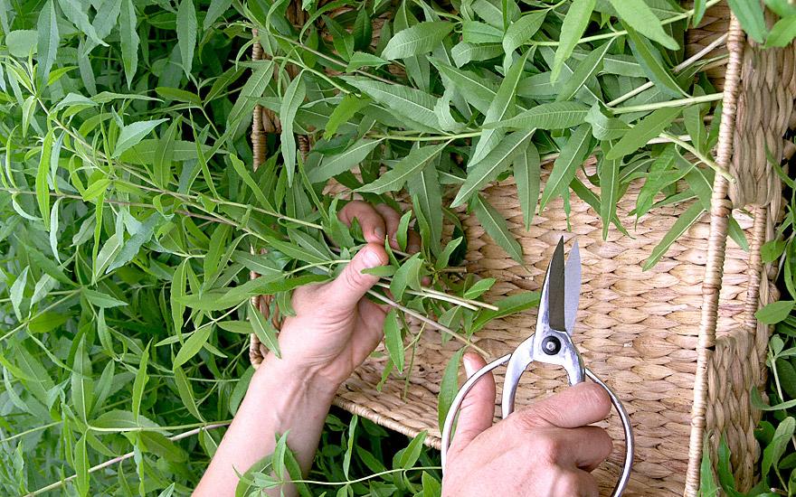 zitronenverbene pflanze aloysia triphylla verbene eisenkraut udo vernonia pflanzen. Black Bedroom Furniture Sets. Home Design Ideas