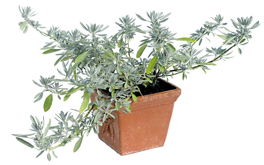 kriechender salbei pflanze salvia nevadensis salbei. Black Bedroom Furniture Sets. Home Design Ideas
