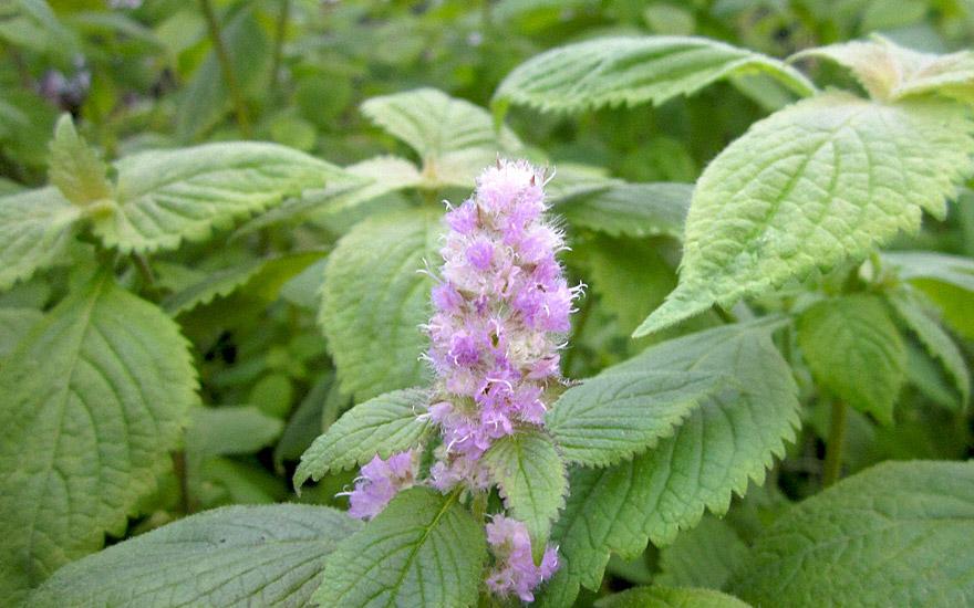 melisse plante medicinale