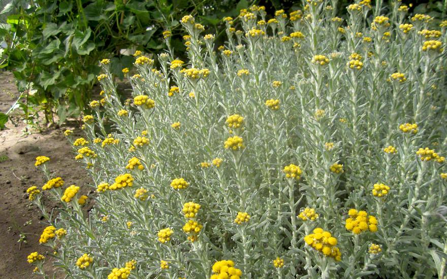 Afrikanische immortelle pflanze helichrysum splendidum for Plante immortelle